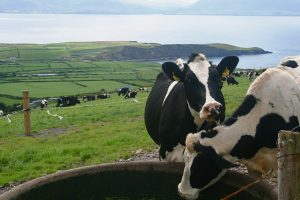 Cows in Ireland - Properfood.ie